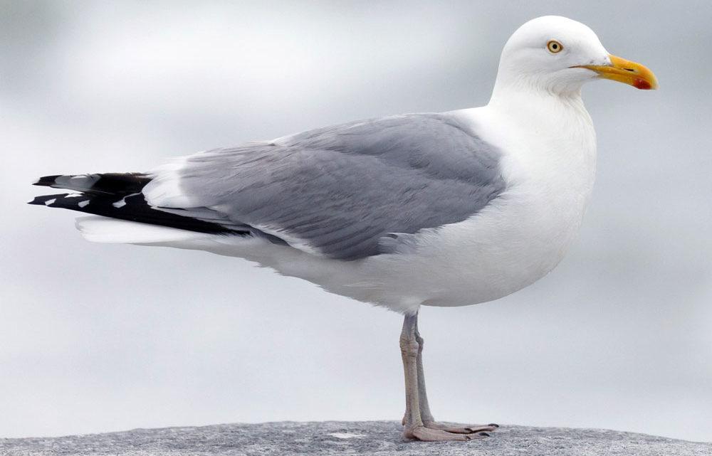 Les oiseaux marins